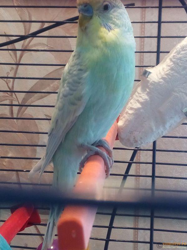 Окрасы волнистых попугаев - 1520151888841-866204814.jpg