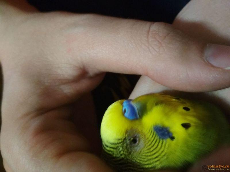 Проблема с глазом у волнистого попугайчика. - AflHEoEyGyU.jpg