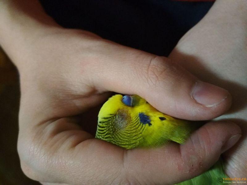Проблема с глазом у волнистого попугайчика. - BZjeNj_XOZU.jpg