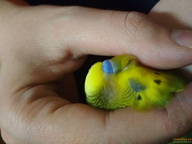 Проблема с глазом у волнистого попугайчика. - sitaiUwXi3k.jpg