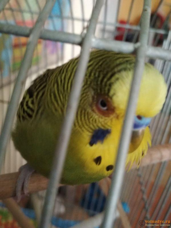 Проблема с глазом у волнистого попугайчика. - J5ftJJe3CX4.jpg