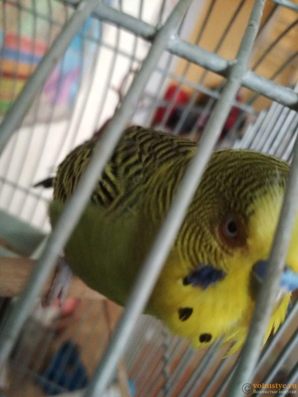 Проблема с глазом у волнистого попугайчика. - TGSaDXS_Opk.jpg