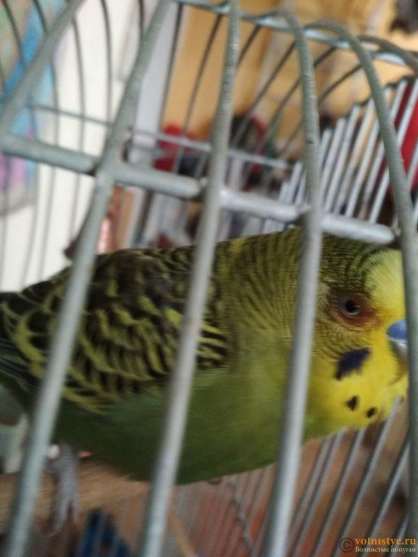 Проблема с глазом у волнистого попугайчика. - TrNVBUpJKQs.jpg