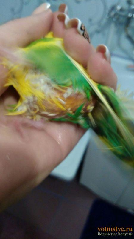 Выпадают перья в области клоаки - yReFYD3GLcI.jpg