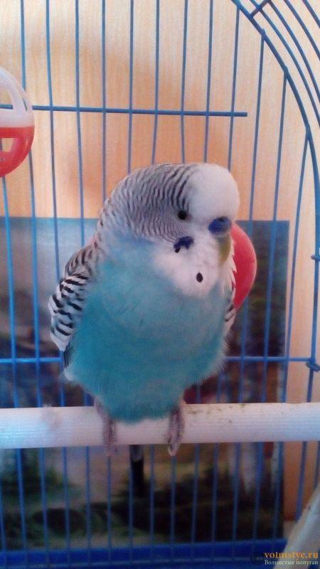 Помогите что с моим волнистым попугаем, он заболел? - IMG_20180313_100136.jpg