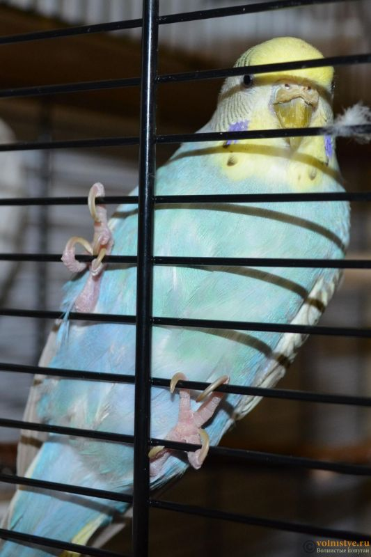 Гиперкератоз у попугая - DSC_0765.JPG