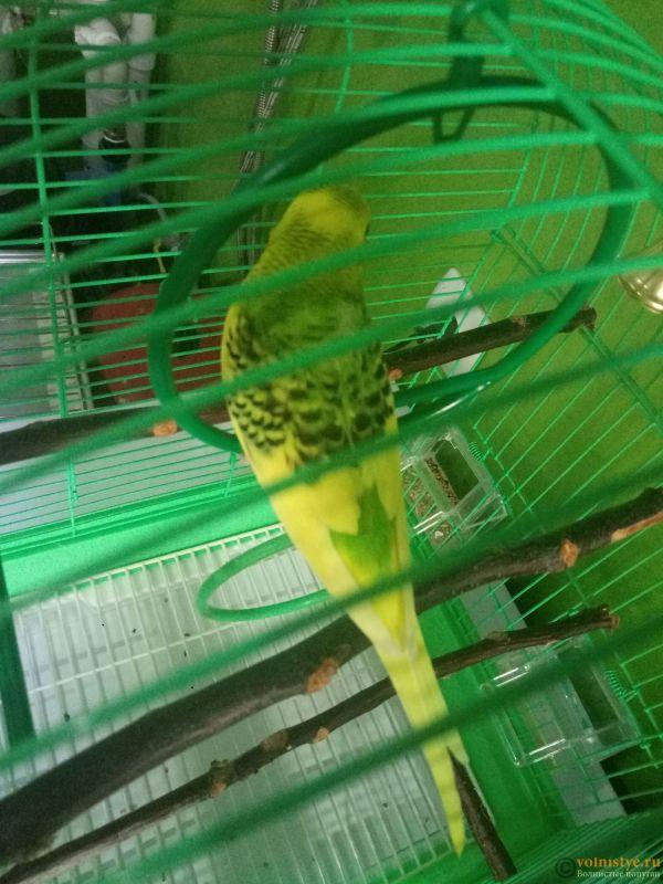 Окрасы волнистых попугаев - P80316-150515.jpg