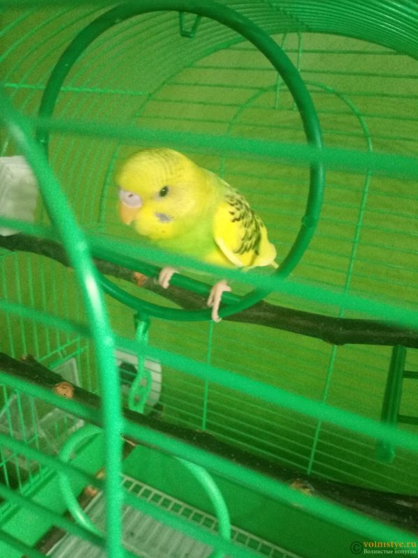 Окрасы волнистых попугаев - P80316-150532.jpg
