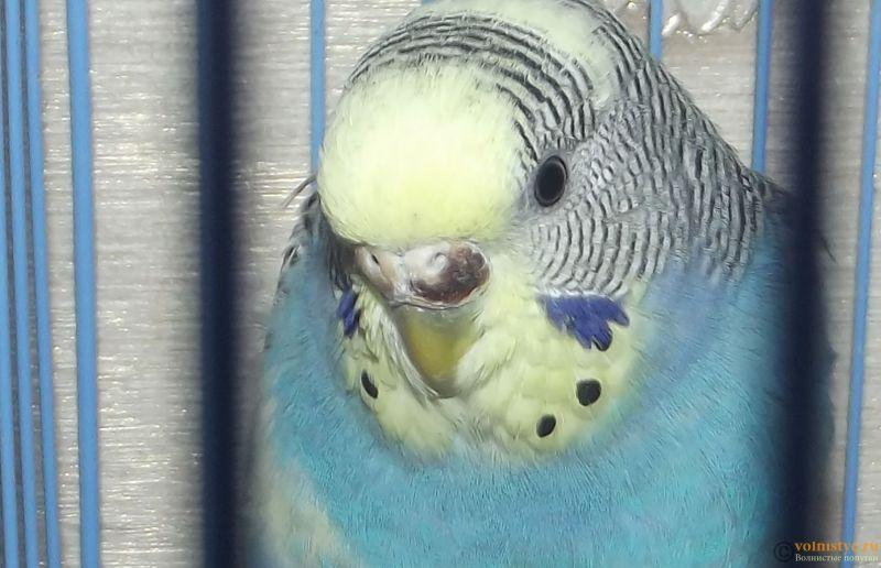 Подскажите, у попугая клещ? - 2 - 12.jpg