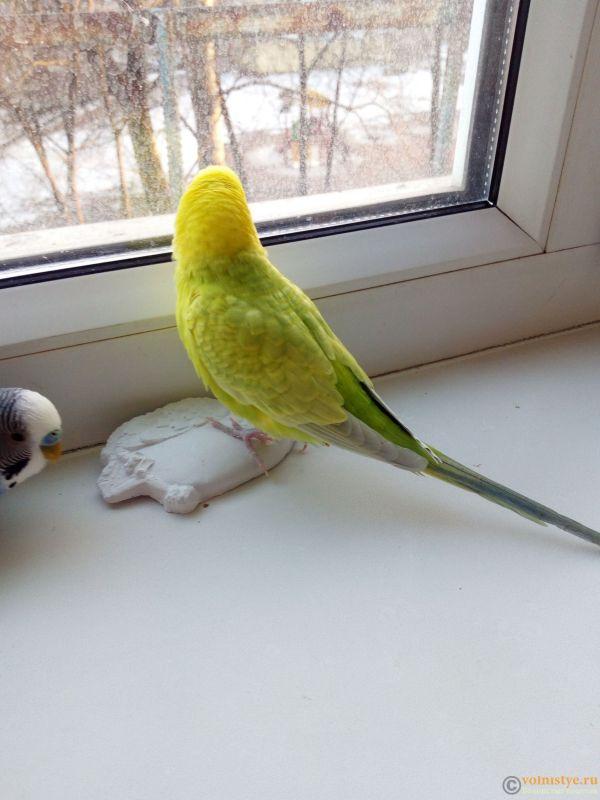 Окрасы волнистых попугаев - IMG_20180403_191955.jpg