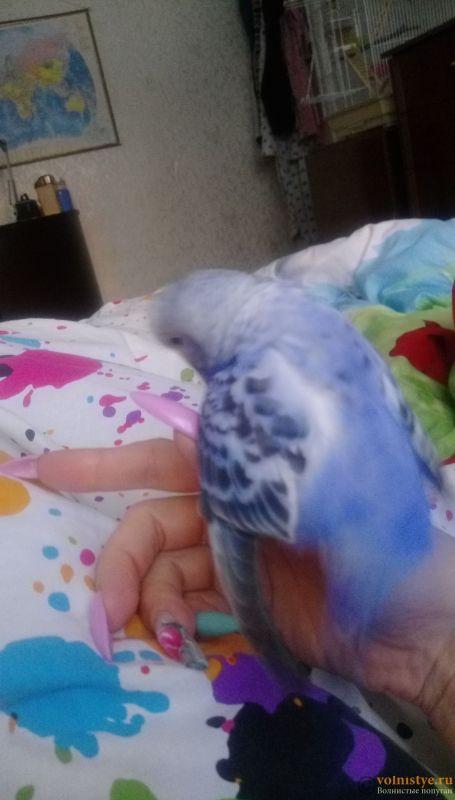 Так вы считаете - Это нормальное поведение попугайчика? ))) - IMAG5051.jpg