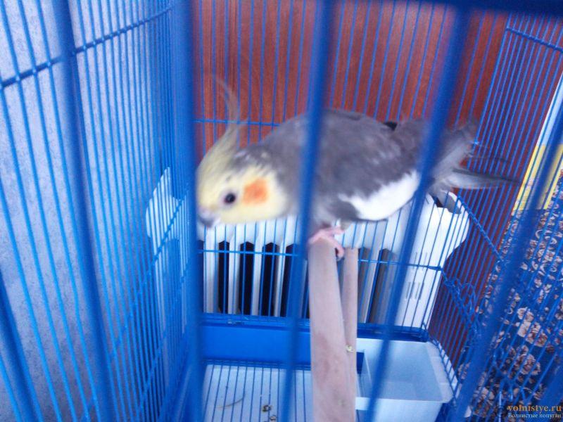 Определение пола и возраста попугаев корелла - IMG_20180408_095400.jpg
