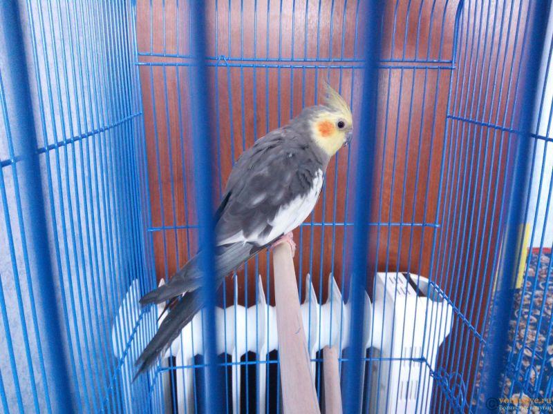 Определение пола и возраста попугаев корелла - IMG_20180408_095453.jpg