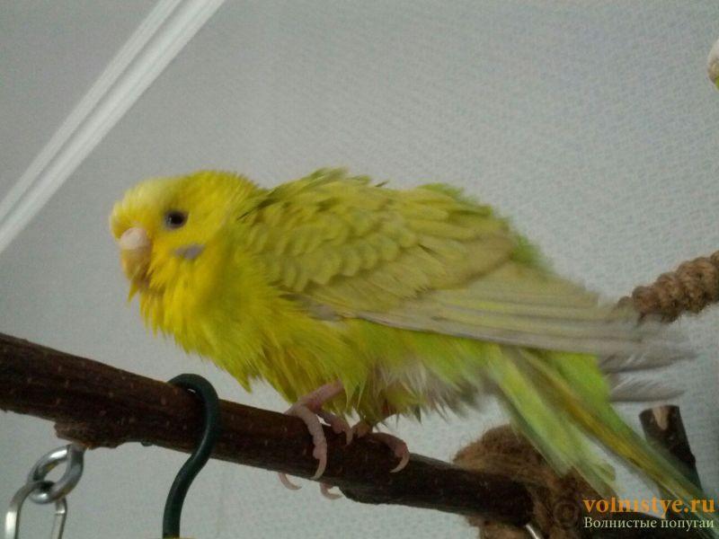 Попугаи Тякшанни - N2JV3_6CxPo.jpg