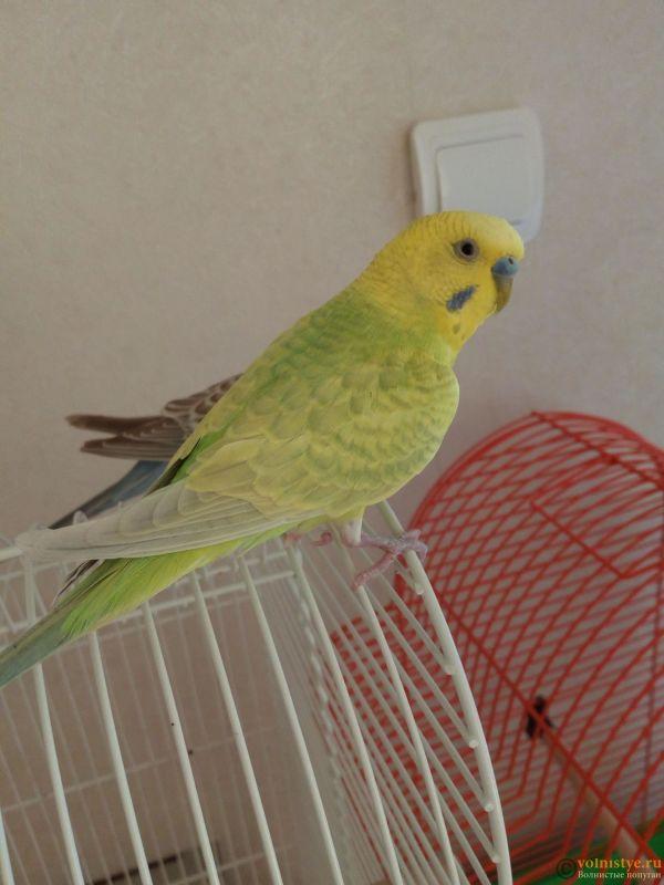 Окрасы волнистых попугаев - IMG_20180407_112415.jpg
