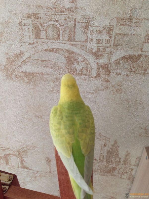 Окрасы волнистых попугаев - IMG_20180407_112640.jpg
