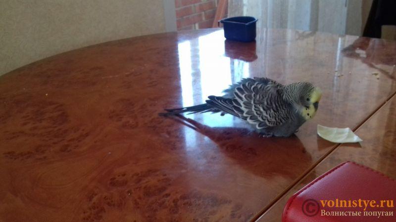 попугай все время хохлится, что делать? - кузя.jpg