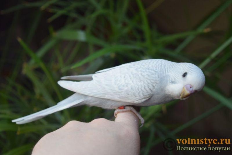 Птенцы-самцы домашнего разведения, Москва ЮЗАО - DSC_5761.JPG