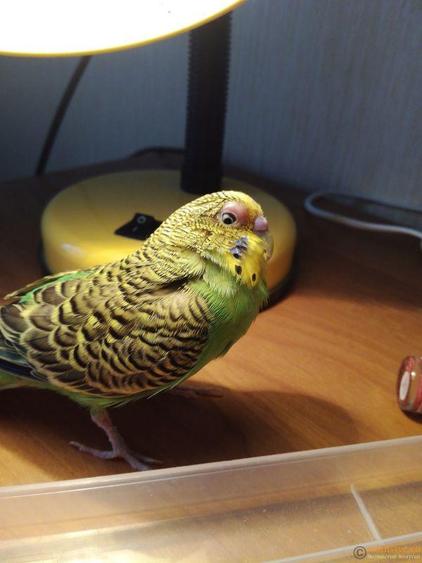 Попугай грызет свою лапку !!!!! Что делать? - 1524201102790198836976.jpg
