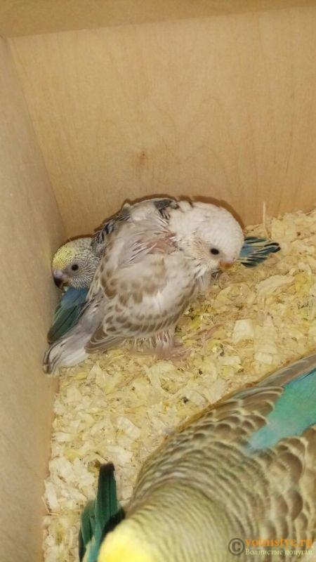 Какого окраса ваши попугаи и какого у них получились птенцы? - 1524799727532_669.jpg