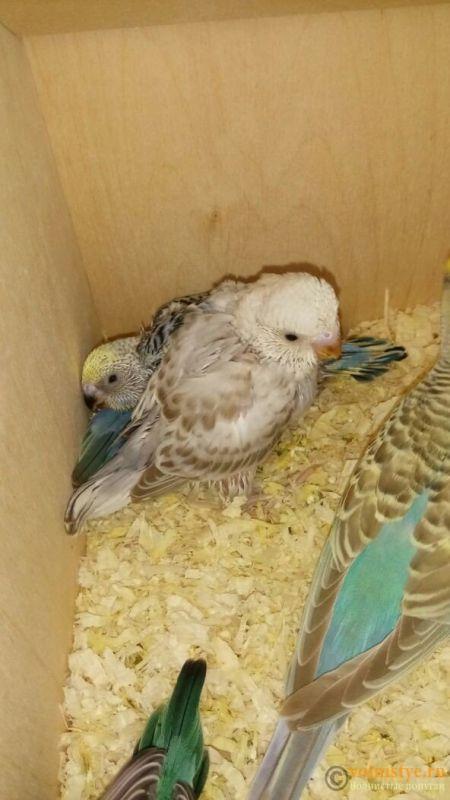Какого окраса ваши попугаи и какого у них получились птенцы? - 1524799730721_670.jpg