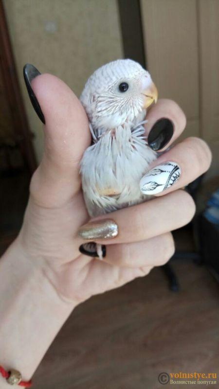 Какого окраса ваши попугаи и какого у них получились птенцы? - 1524804351253_673.jpg