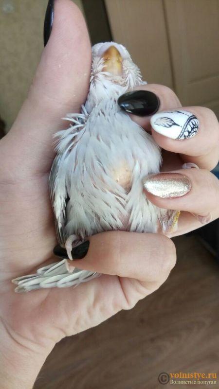 Какого окраса ваши попугаи и какого у них получились птенцы? - 1524804353659_674.jpg