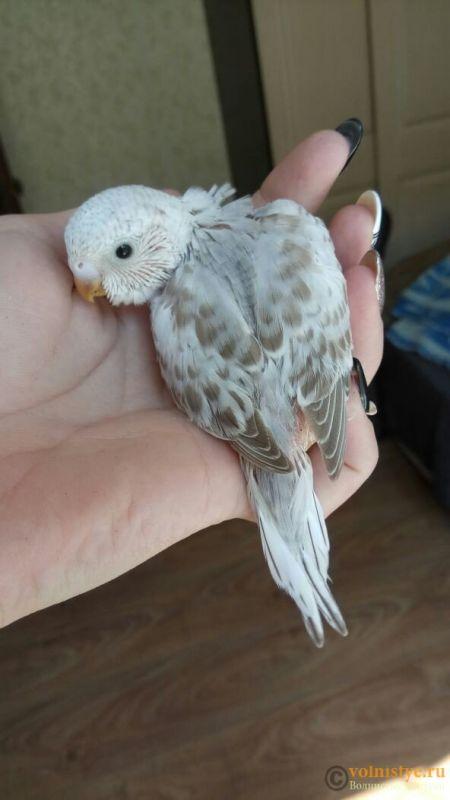 Какого окраса ваши попугаи и какого у них получились птенцы? - 1524804355877_675.jpg