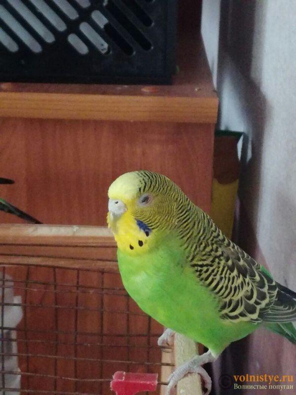 Проблема с глазом у волнистого попугая - 6VmDLcbZ-Uk.jpg