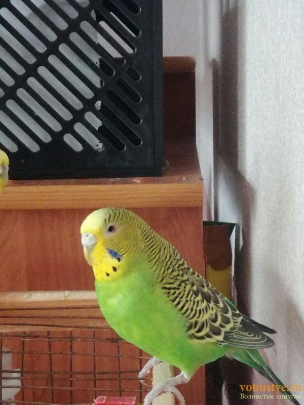 Проблема с глазом у волнистого попугая - f9N_ZhICRF4.jpg