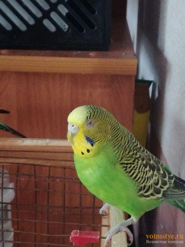 Проблема с глазом у волнистого попугая - uecKyumaihg.jpg