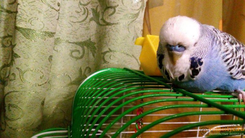 Попугай спит на животе - LOxBm831XJs.jpg