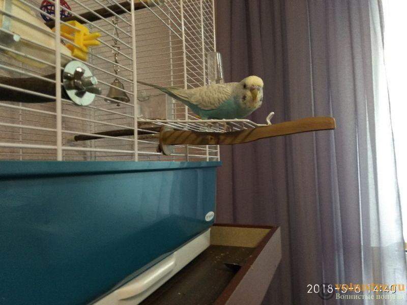 Способ приучить попугая вылетать и залетать в клетку - -SY8lDiyDxA.jpg