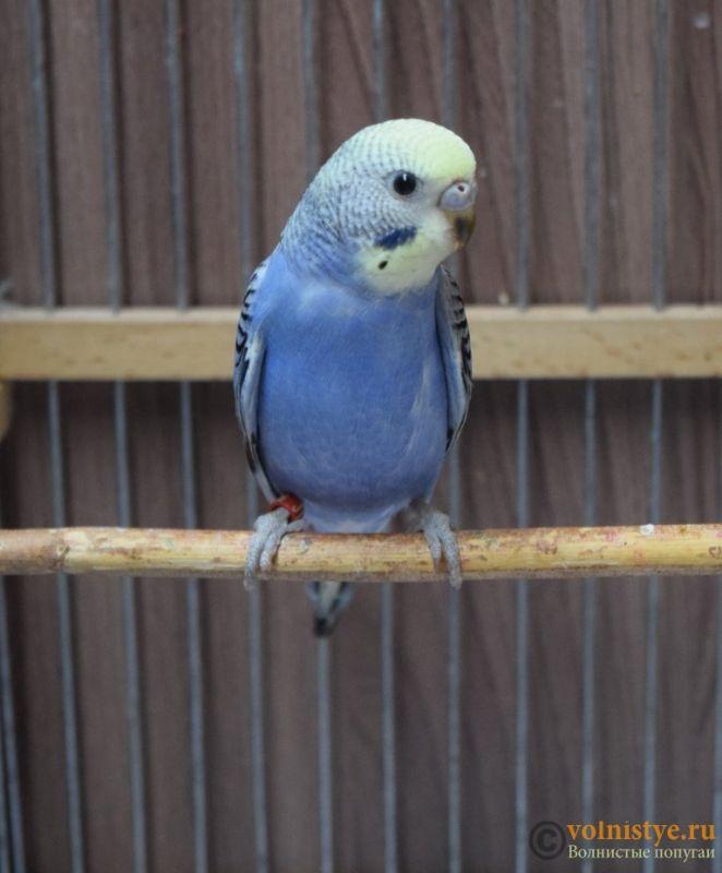 Продаю птенцов волнистого попугая (от Джека и Эльзы) - DSC_5797.JPG