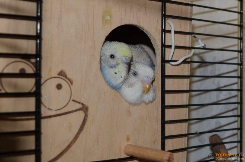 Гнездование Стива и Поли. Вторая попытка. - DSC_0061.JPG
