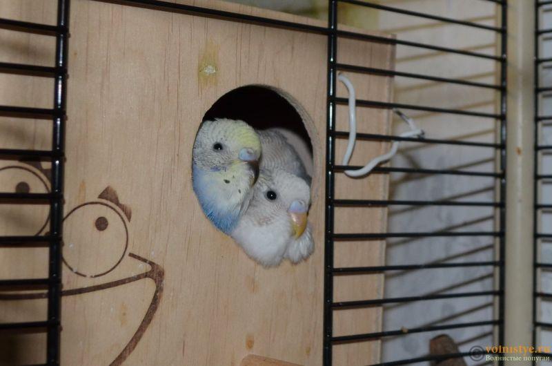 Гнездование Стива и Поли. Вторая попытка. - DSC_0062.JPG