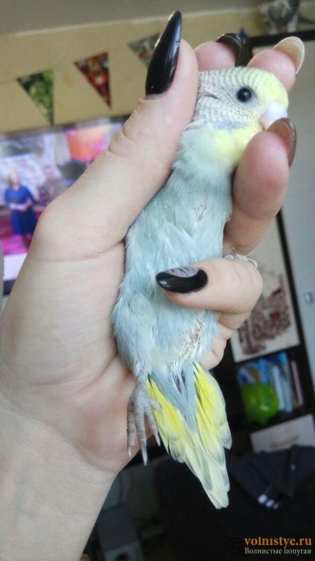 Какого окраса ваши попугаи и какого у них получились птенцы? - 1525921868918_734.jpg