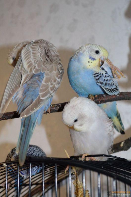 Гнездование Стива и Поли. Вторая попытка. - DSC_0168.JPG