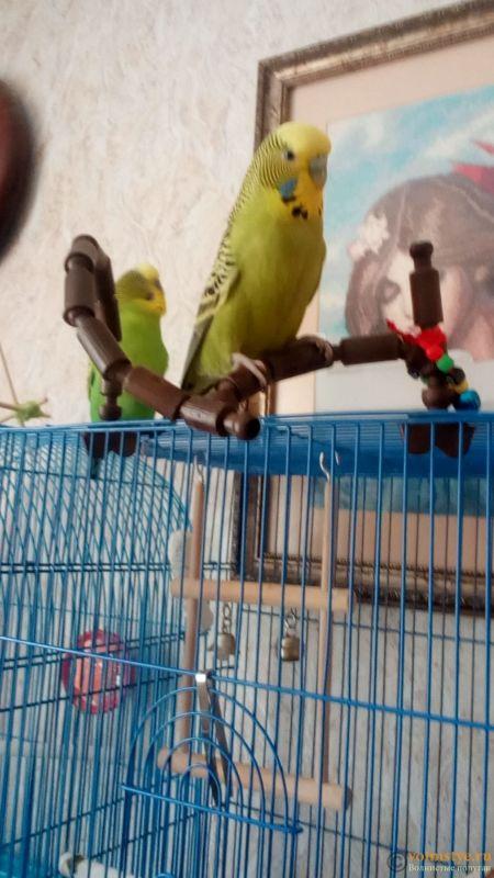 Какого окраса ваши попугаи и какого у них получились птенцы? - IMG_20180313_123543.jpg