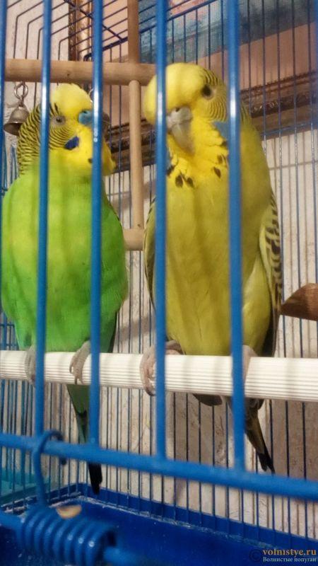 Какого окраса ваши попугаи и какого у них получились птенцы? - IMG_20180312_192908.jpg