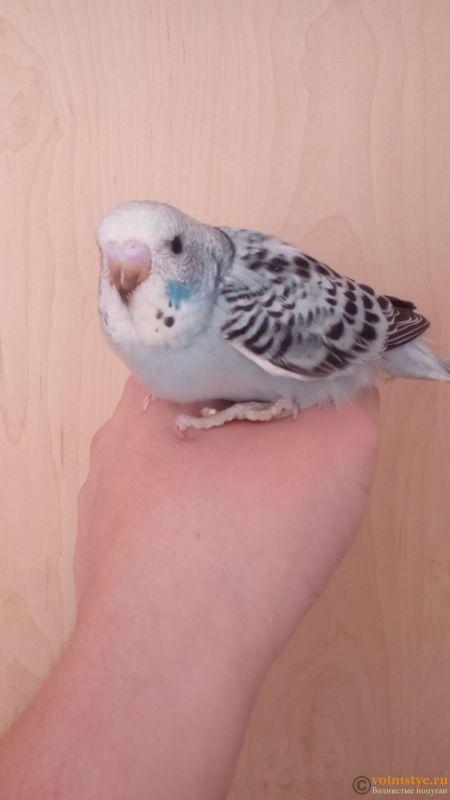 Какого окраса ваши попугаи и какого у них получились птенцы? - IMG_20180319_102542.jpg