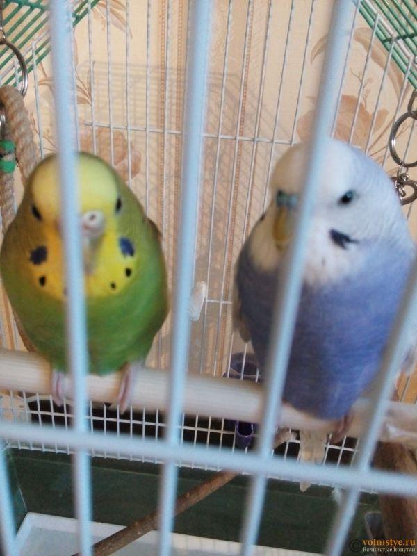 Какого окраса ваши попугаи и какого у них получились птенцы? - 15262305107282135067315.jpg