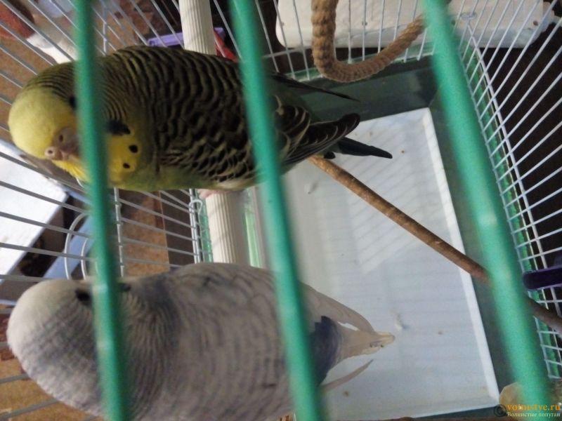 Какого окраса ваши попугаи и какого у них получились птенцы? - 15262305753971733786355.jpg