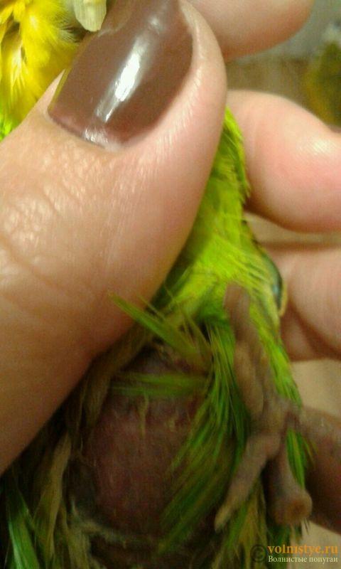 Опухоль на животе у попугайчика - 7qv91GvLErQ.jpg
