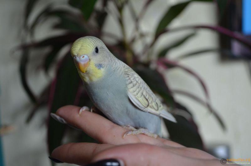 Определение пола и возраста попугаев № 11 - DSC_0012.JPG