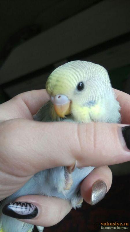 Определение пола и возраста попугаев № 11 - 1526437594632_750.jpg
