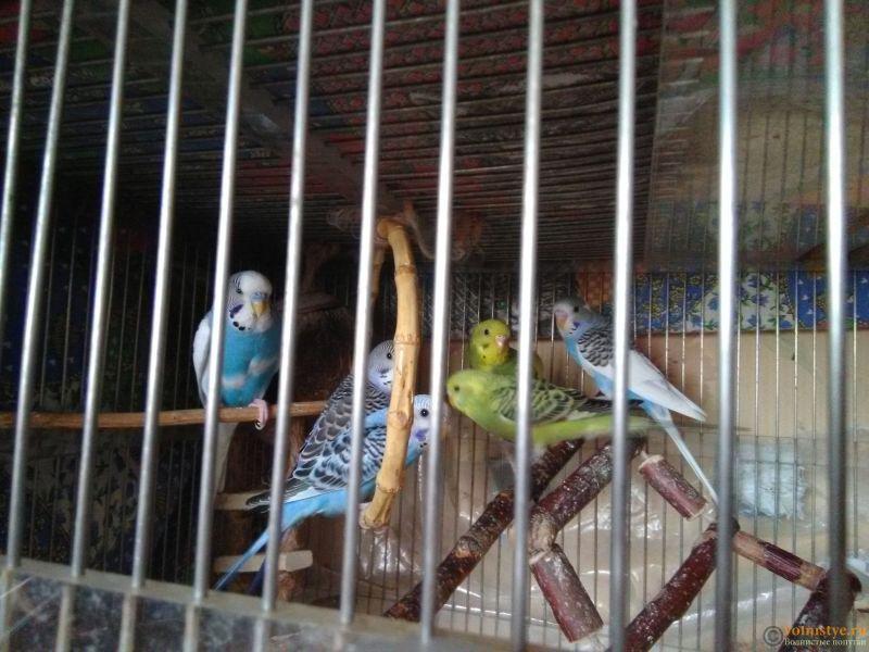 Малыши волнистых попугаев. Рождены в начале апреля. М. Ховрино. 89296150792. - IMG_20180519_115052.jpg