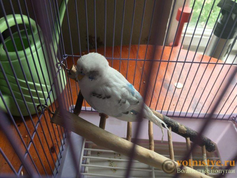 Попугайчик сидит с закрытыми глазами и хрипит - p1rtjXw8Uhc.jpg
