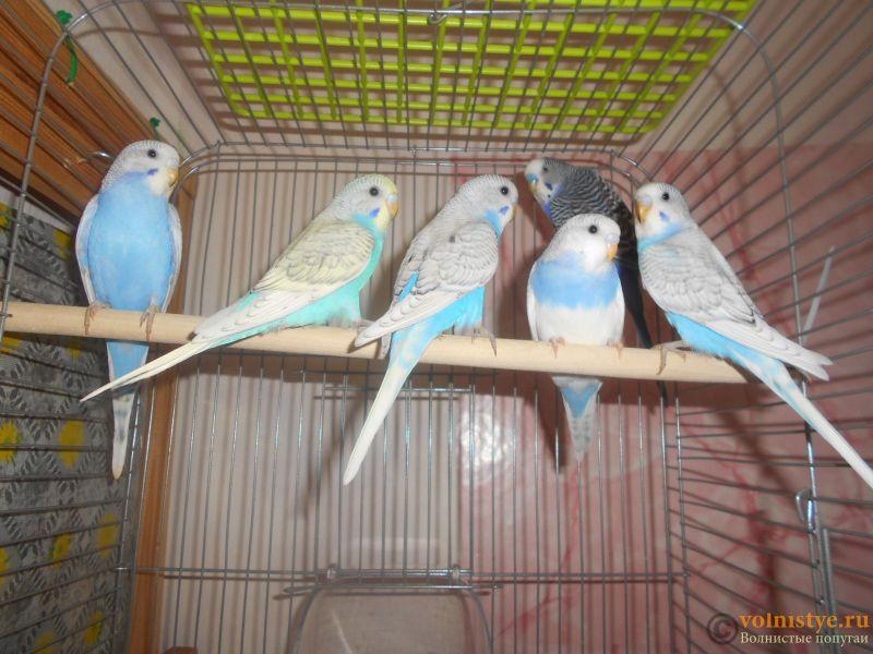 Птенцы волнистого попугая. Омск. - DSCN2899.JPG