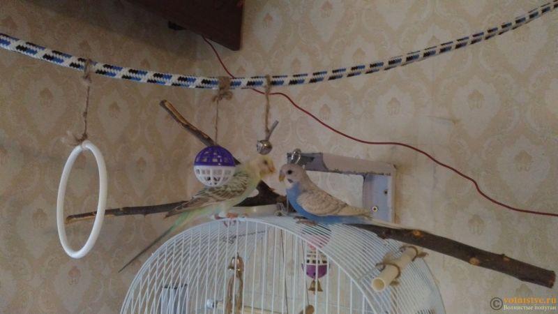 Птенцы волнистого попугая. Омск. - P_20180603_175213.jpg
